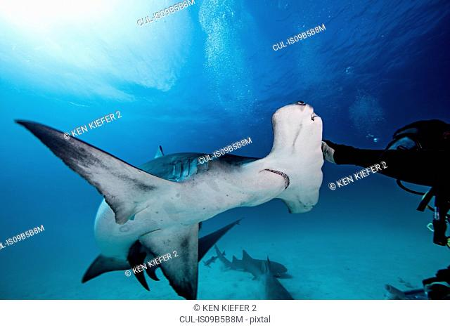 Underwater close up of male diver touching hammerhead shark
