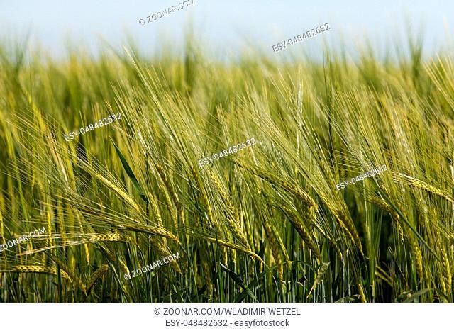 Ein grünes Kornfeld