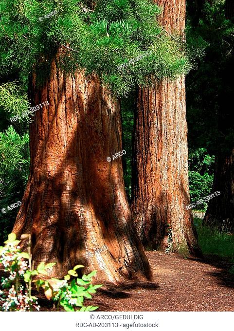 Dawn Redwood, Zoological and botanical gardens Wilhelma, Stuttgart, Baden-Wurttemberg, Germany, Metasequoia glyptostroboides, Taxodiaceae