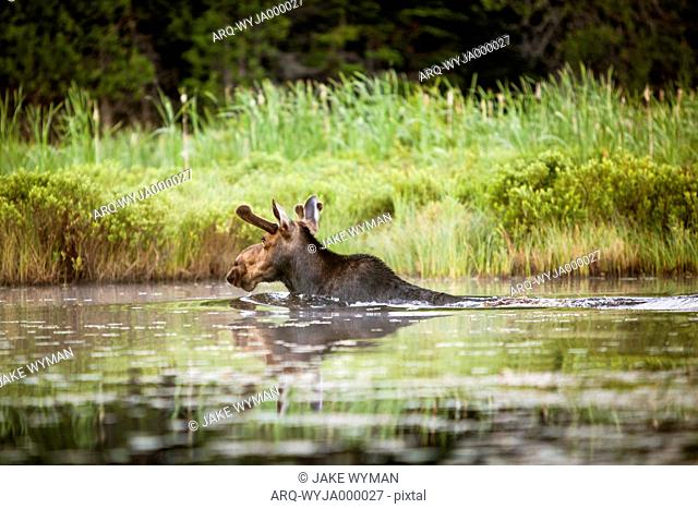 A Young Male Moose Swims To The Lake Shore In Northern Maine