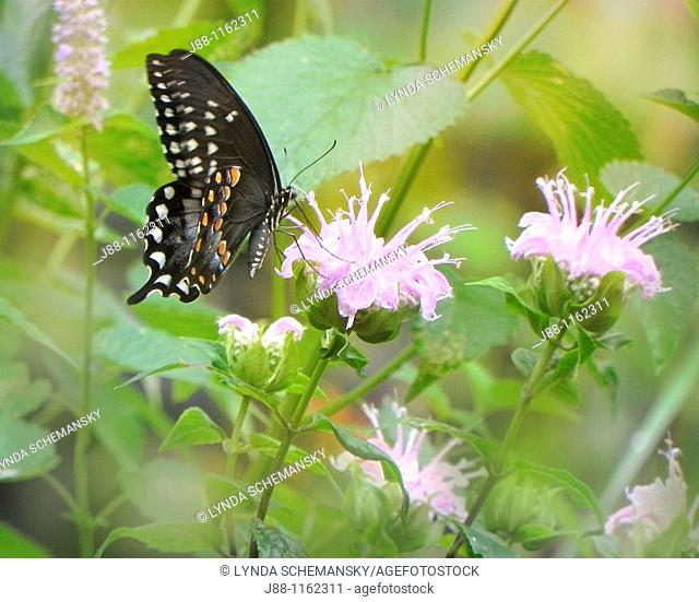 Black swallowtail butterfly Papilio polyxenes on wild bergamot bee balm, Monarda fistulsa flower