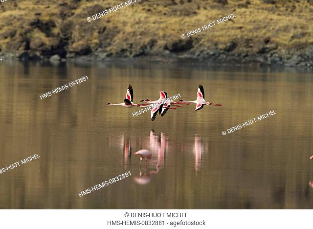 Kenya, Rift Valley, Magadi Lake, lesser flamingo (Phoeniconaias minor), in flight