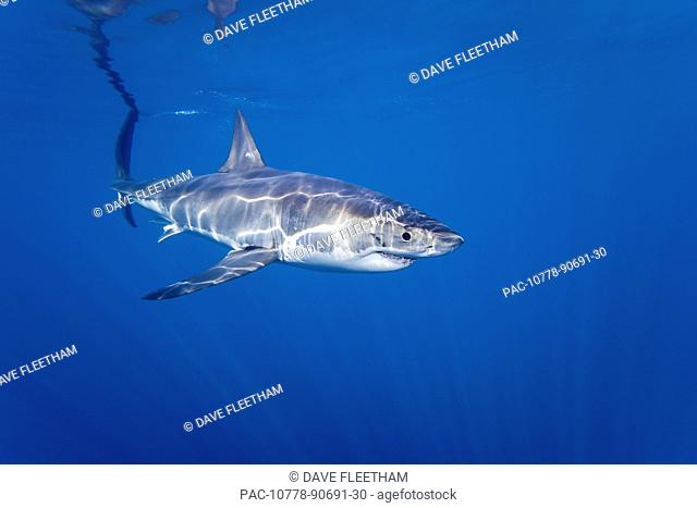 Mexico, Guadalupe, Great White Shark Carcharodon Carcharias, just below water surface