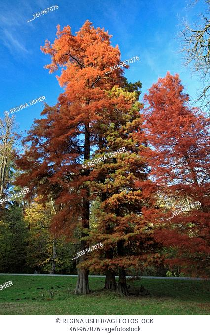 Swamp Cypress / Bald Cypress Taxodium distichum, trees in autumn colour, Germany