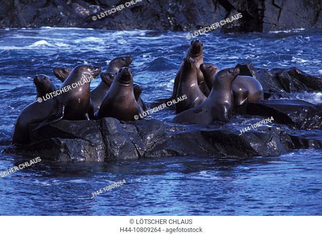 Alaska, Eumetopias jubatus, haul, Gulf of Alaksa, Needles, Prince William Sound, rocks, Steller sea lion, USA, Ameri