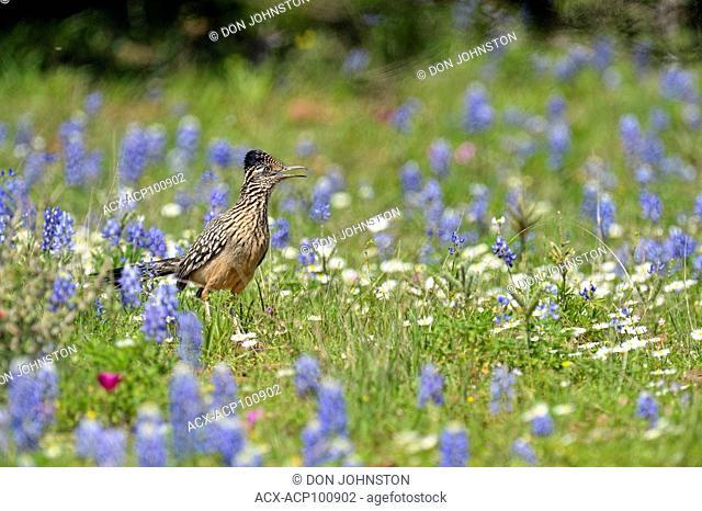 Greater roadrunner (Geococcyx californianus), Threadgill Creek Road, Mason County, Texas, USA