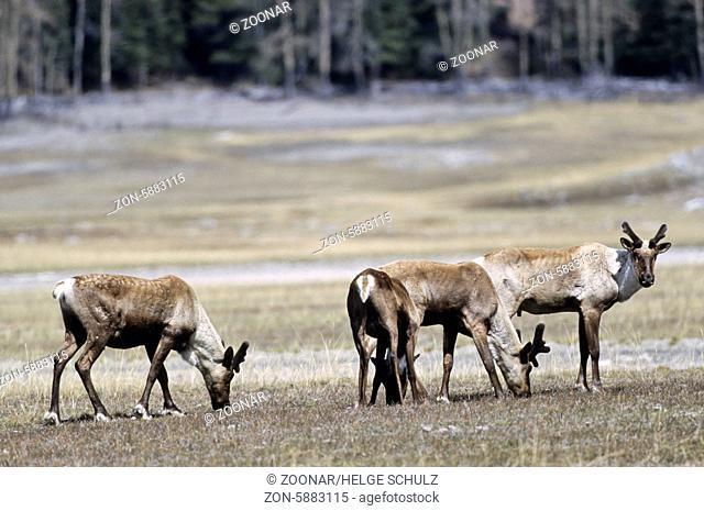 Waldkaribubullen mit Bastgeweih im Fruehling - (Kanadisches Waldrentier) / Bull Woodland Caribous with velvet antler in springtime - (Forest Caribou) / Rangifer...