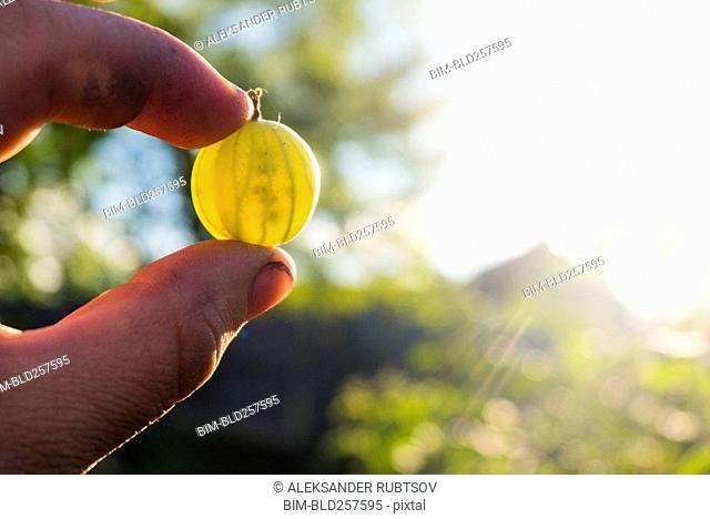 Fingers holding transparent organic green tomato