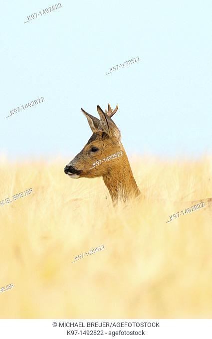 Roe buck in barley field, Capreolus capreolus, Hessen, Germany, Europe
