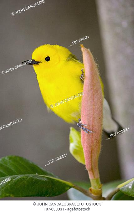 Prothonotary Warbler (Protonotaria citrea) - Male -Louisiana - USA - Common in wooded swamps and along streams - Seldom seen far from water - Nests in tree...