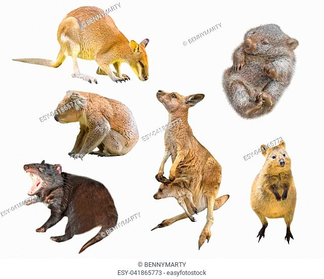 Collage of Australian marsupial mammals, isolated on white background. Wallaby, Tasmanian Devil, Wombat, Kangaroo with Joey, Quokka and Koala