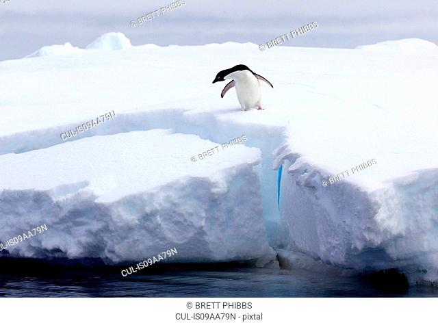 Adelie Penguin on iceberg, ice floe in the southern ocean, 180 miles north of East Antarctica, Antarctica