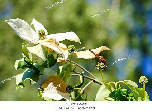 kousa dogwood, Japanese Dogwwod (Cornus kousa), blooming