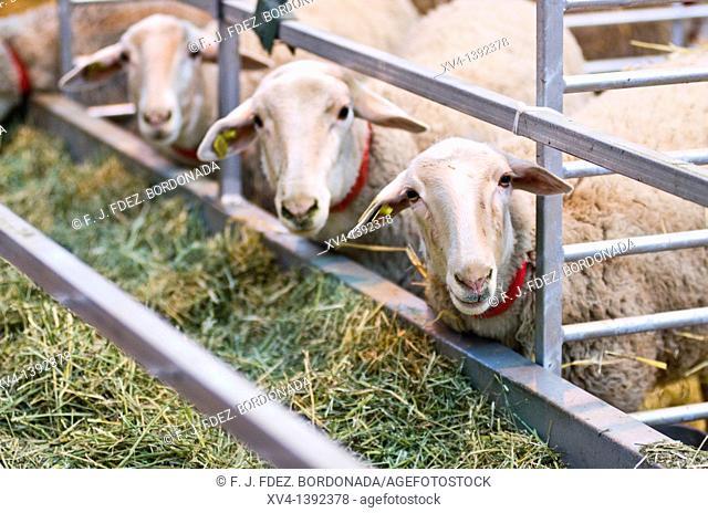 Livestock fair in Saragossa  Aragon, Spain, Europe