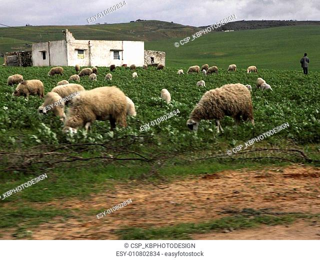 Flock of sheep in Ifrane