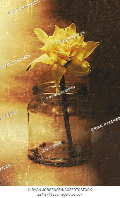 Nostalgic flower still life photo of a vintage dafodil flower bud in old retro glass jar. Captured romance