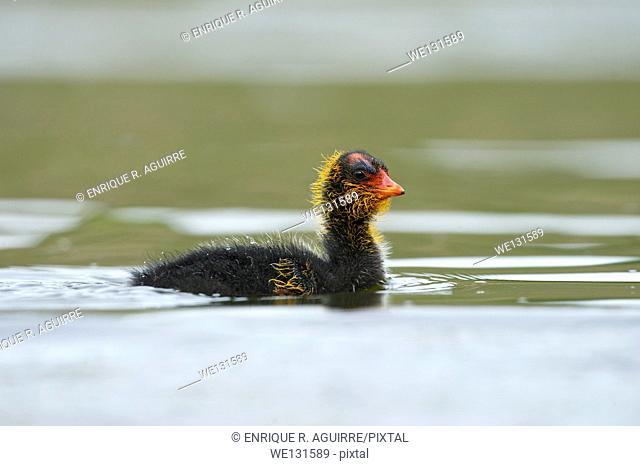 American Coot (Fulica americana) (a.k.a. mud hen)