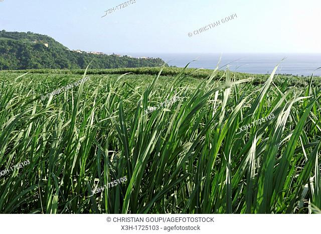 sugarcane field, Rum Depaz distillery, Martinique, french island overseas region and department in the Lesser Antilles in the eastern Caribbean Sea