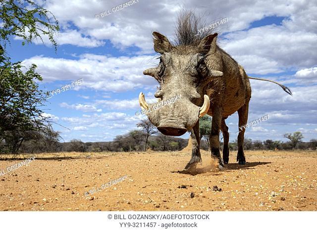 Common warthog (Phacochoerus africanus) - Okonjima Nature Reserve, Namibia, Africa