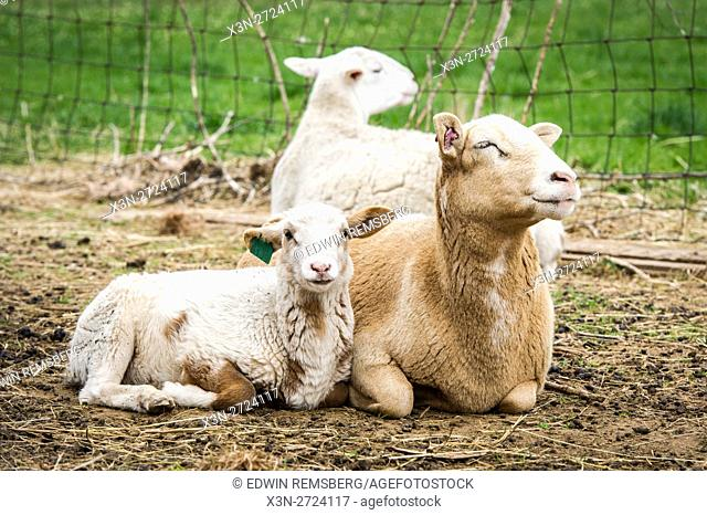 Mother sheep with lamb on a farm in Maryland