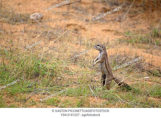 Ground Squirrel (Xerus inauris), Kgalagadi Transfrontier Park, Kalahari desert, South Africa/Botswana