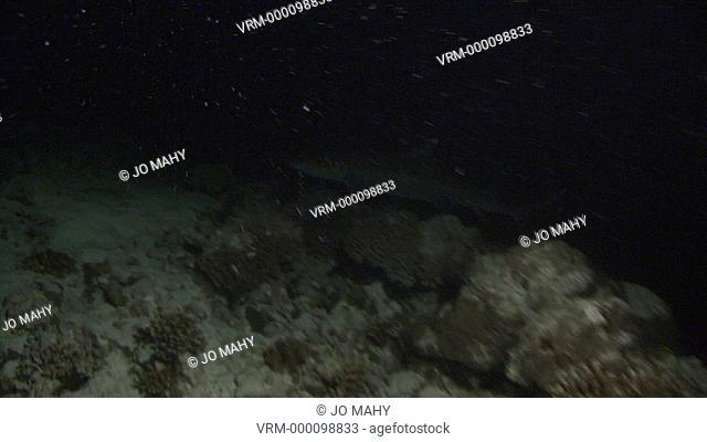 White tip shark. Maldives, Indian Ocean