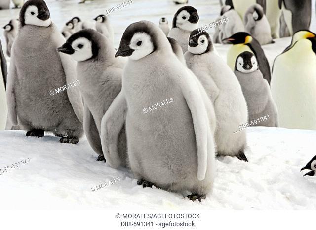 Emperor Penguins (Aptenodytes forsteri). Snow Hill Island. AntarcticaEmperor Penguins (Aptenodytes forsteri). Snow Hill Island. Antarctica