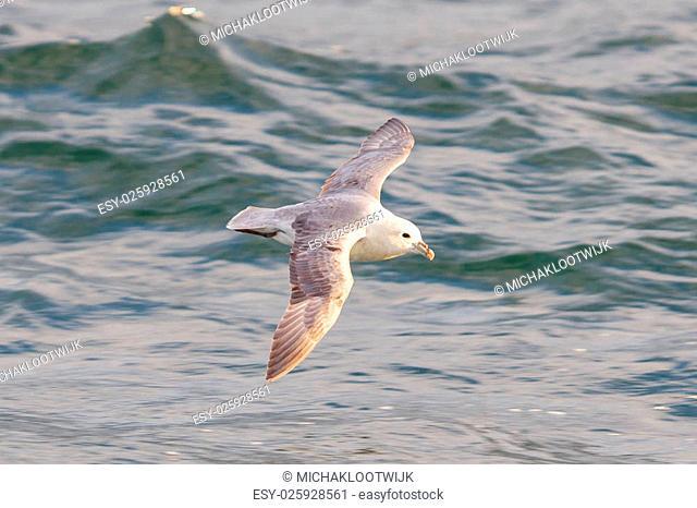 Fulmar, Fulmarus glacialis, single bird in flight