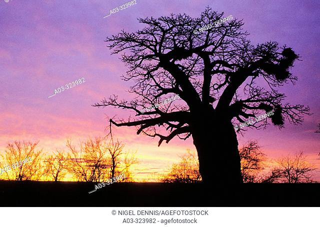Baobab (Adansonia digitata) at dusk. Kruger National Park, South Africa