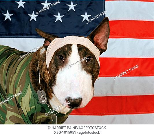 English Bull Terrier with American flag
