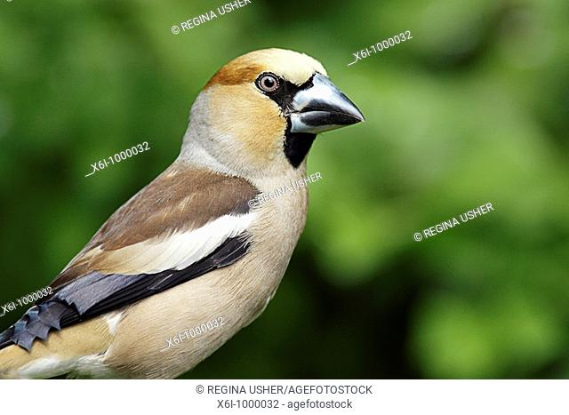 Hawfinch Coccothraustes coccothraustes portrait, Germany