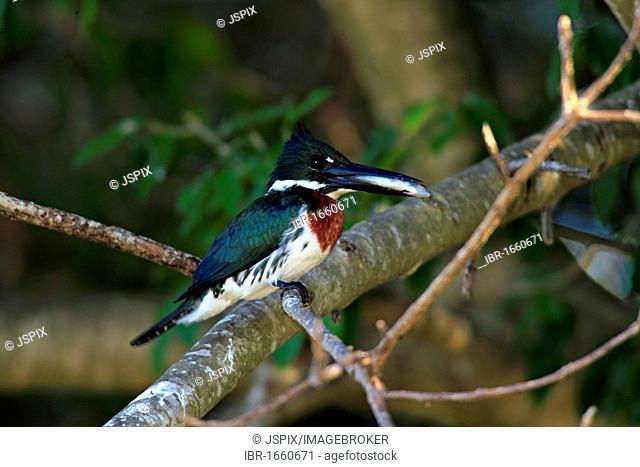 Amazon Kingfisher (Chloroceryle amazona), adult bird in a tree with a caught fish`, Pantanal, Brazil, South America