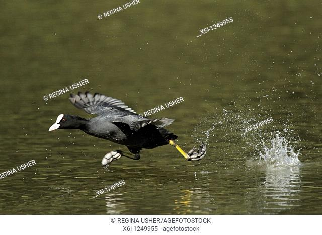Coot Fulica atra, running across water, Germany
