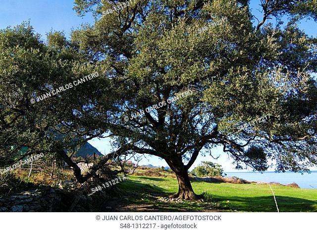 Holm oak, Sonabia Coast, Cantabria, Spain