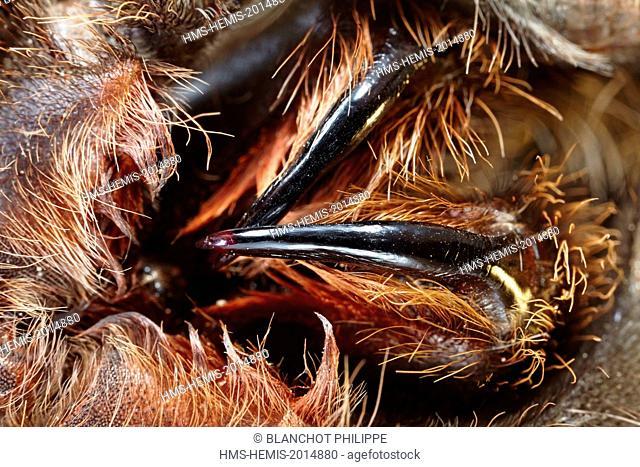 France, Paris, National Museum of Natural History, Laboratory of arachnology, Chelicerae of exotic tarantulas, Theraphosidae, Brachypelma sp