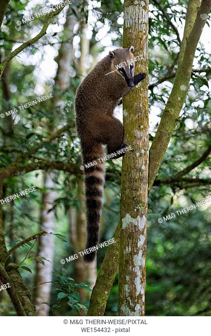 Coati (Nasua or Nasuella) climbing on a tree, Iguazu National Park, Parana State, Brazil