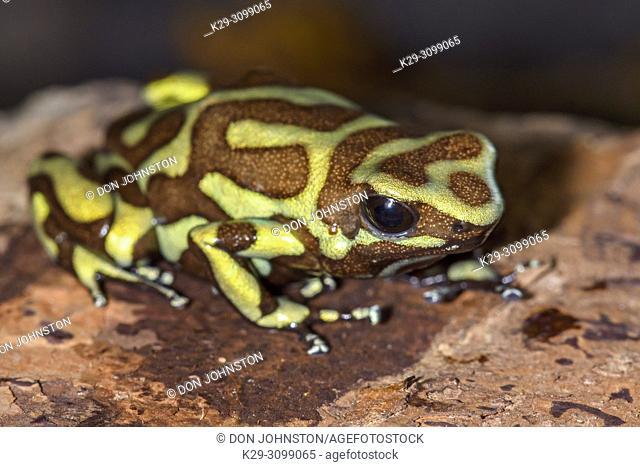 "Dendrobates auratus """"tobago"""", Understory Enterprises, Captive raised, Native to: Tobago Island Panama"
