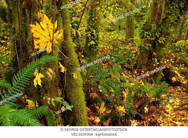 Forest with Bigleaf maple (Acer macrophyllum), North Santiam State Park, Oregon