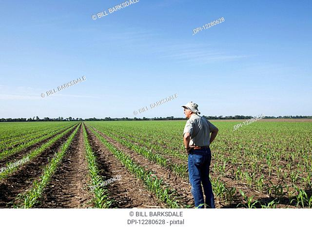 Farmer checking young plants for insect pests, corn at five to six leaf stage, reduced tillage method; England, Arkansas, United States of America