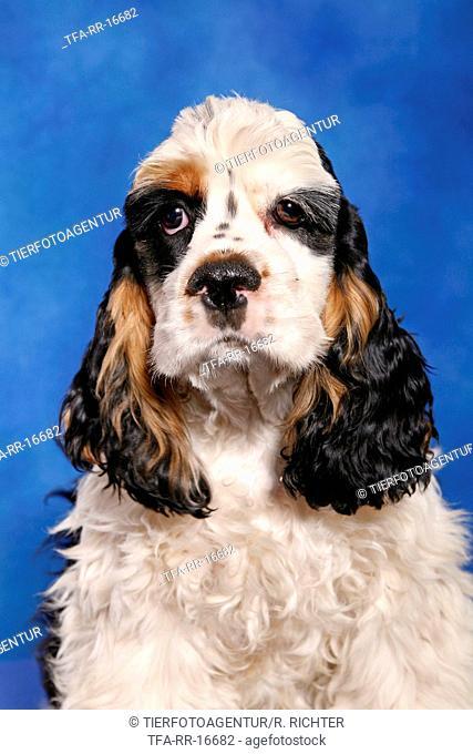 Cocker Spaniel Pup Portrait
