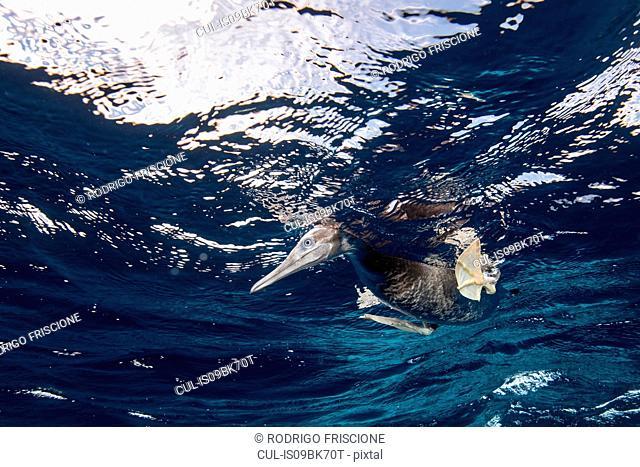 Brown Booby hunting underwater, Puntarenas, Costa Rica