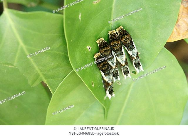 Caterpillars, Leaves, Ilha Grande, Rio de Janeiro, Brazil