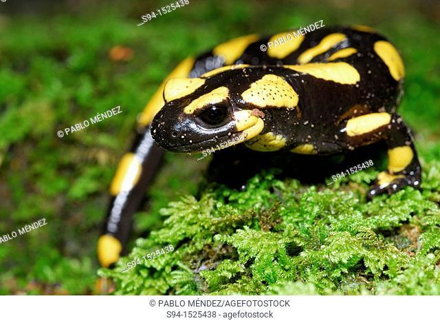 Common salamander Salamandra salamandra in Fosso della Carpegna, Brallo, Pavia, Lombardy, Italy