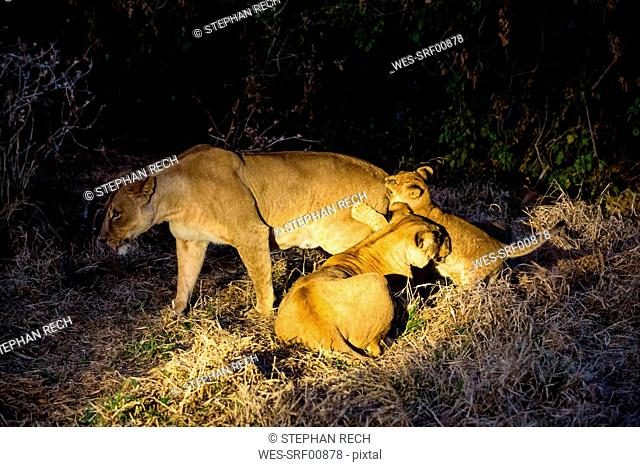 Botswana, Tuli Block, three lions at night