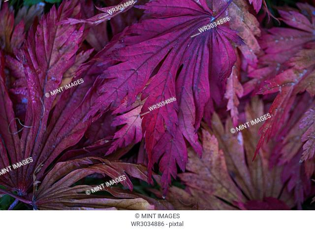 Autumn colours, foliage of an acer tree, Japanese maple with delicate palmate shapes, vivid deep jewel colours, purple and red