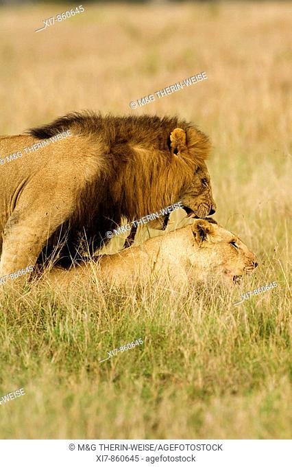 Mating Lions, Panthera leo, Masai Mara, Kenya, East Africa
