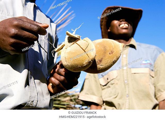 Botswana, North-west district, Okavango delta, ecotourism, the baobab fruit