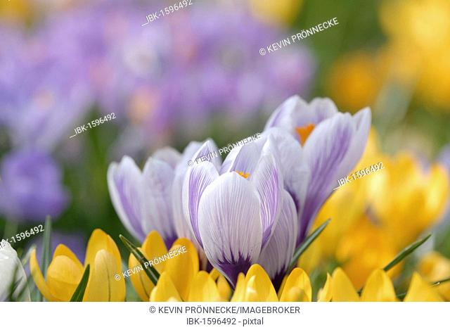 Crocuses (Crocus) in Clara Zetkin Park, Leipzig, Saxony, Germany, Europe
