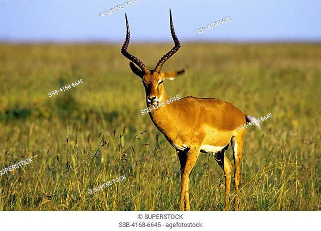 kenya, masai mara, male impala