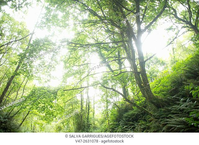 Image of Galician forest in the Camino de Santiago, Mondonedo, Lugo, Galicia, Spain, Europe